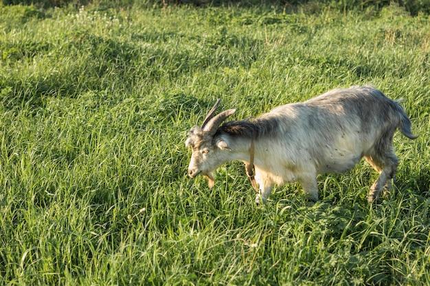 Cabra doméstica comendo grama Foto gratuita