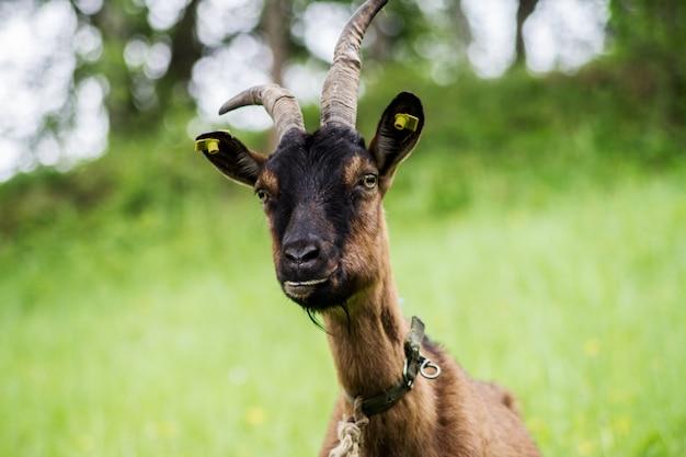 Cabra marrom no prado. perfil da cabra em close-up Foto Premium