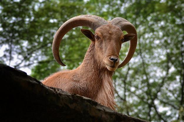 Cabra montesa com bighorn Foto Premium