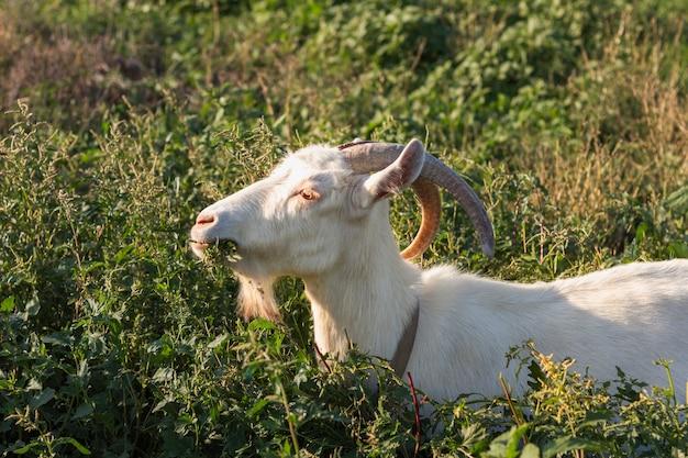 Cabra na natureza comendo grama Foto gratuita
