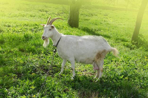 Cabra nova que come a grama na jarda. cabra branca ao ar livre no quintal na primavera Foto Premium