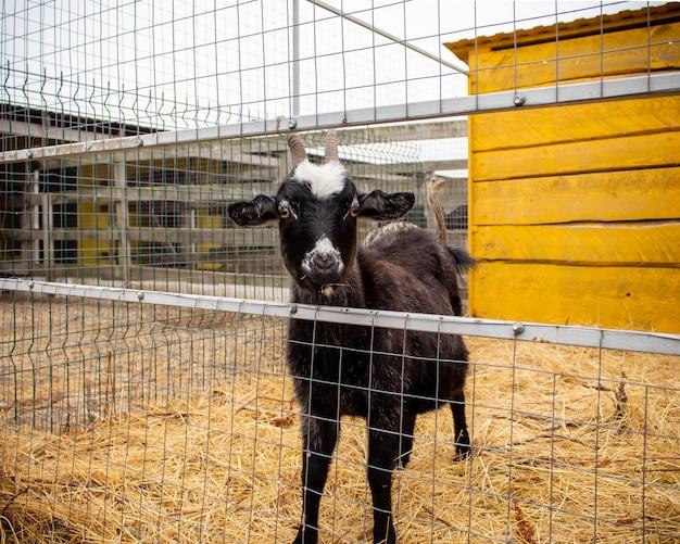Cabra preta no feno em uma fazenda Foto Premium