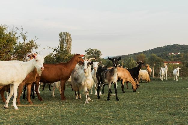 Cabras andando em uma pacífica paisagem verde Foto gratuita