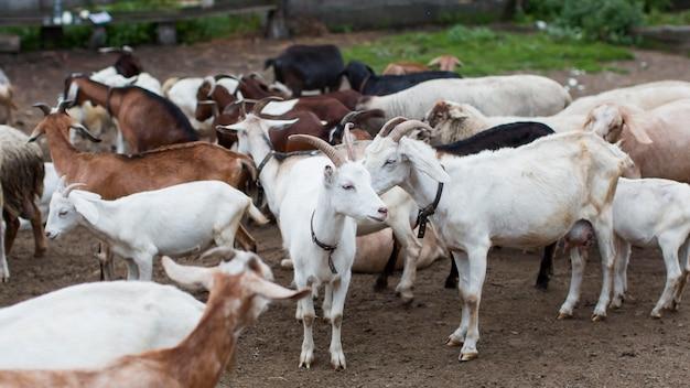 Cabras de alto ângulo na fazenda Foto Premium
