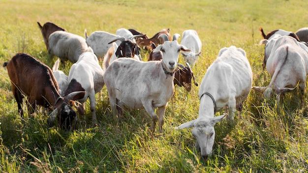 Cabras em terra com grama Foto Premium