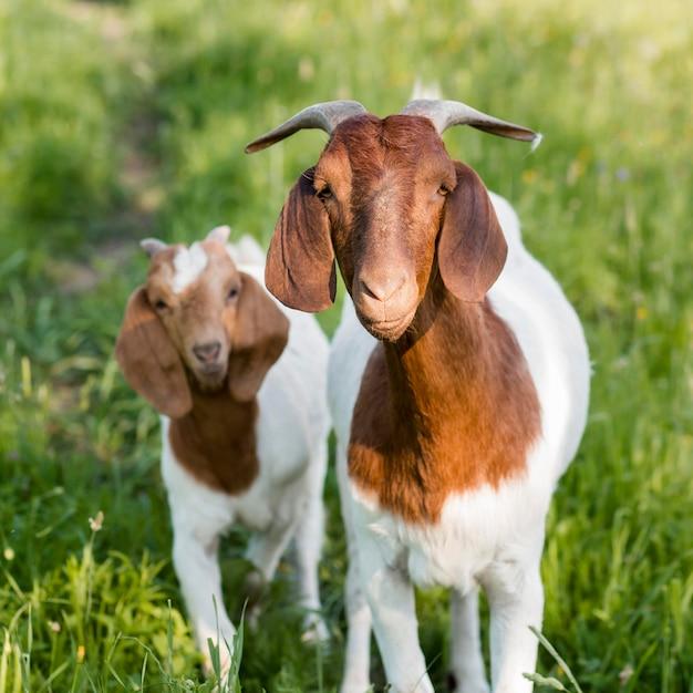 Cabras na fazenda Foto Premium