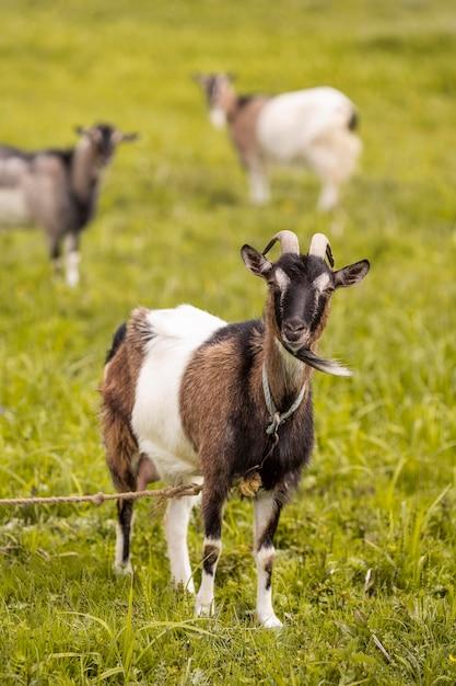 Cabras no campo de grama Foto Premium