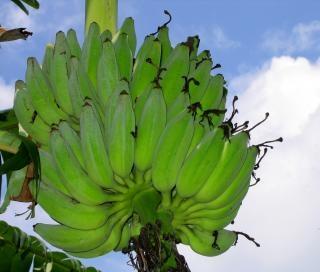 Cacho de banana madura Foto gratuita