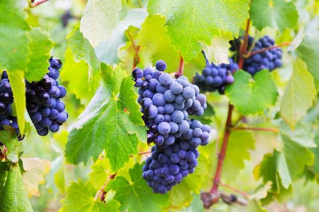 Cacho de uvas na fábrica de vinhas Foto gratuita