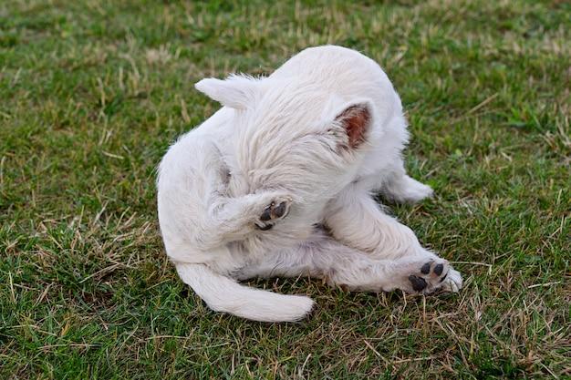 Cachorrinho bonito do terrier branco de montanhas ocidentais que senta-se no prado. Foto Premium