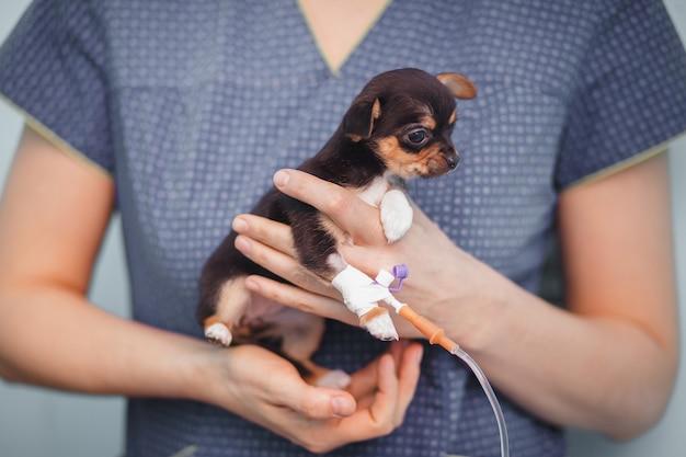 Cachorrinho chihuahua com um conta-gotas nas mãos de um veterinário Foto Premium