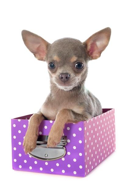 Cachorrinho chihuahua Foto Premium