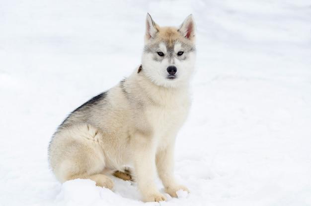 Cachorrinho da raça husky siberiano. cão husky tem cor bege e preto casaco Foto Premium