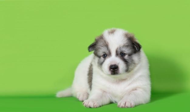 Cachorrinho deitado sobre fundo verde Foto Premium