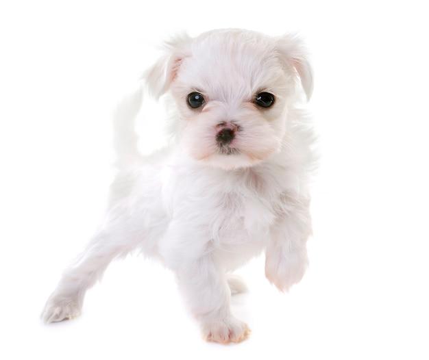 Cachorrinho maltês Foto Premium