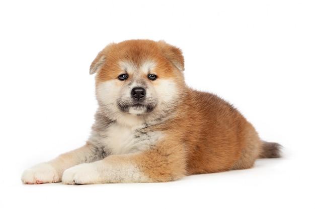 Cachorro akita inu Foto Premium