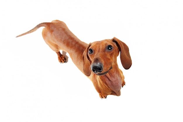 Cachorro bassê, olhando para cima vista de cima Foto Premium