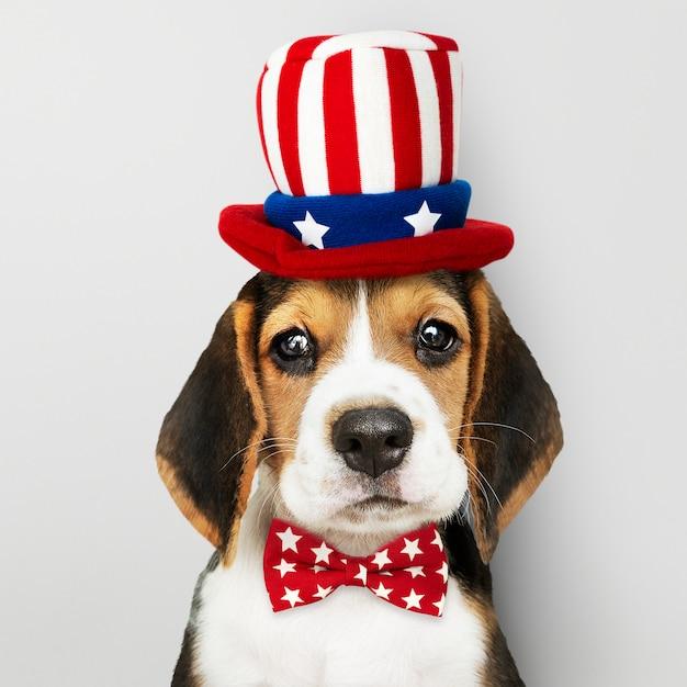 Cachorro beagle americano Foto gratuita