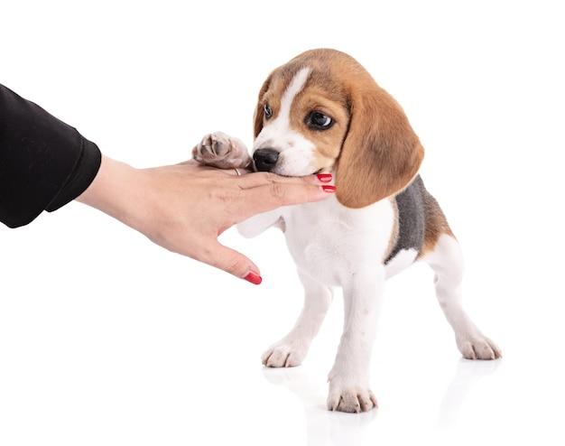 Cachorro beagle mastigando a mão Foto Premium