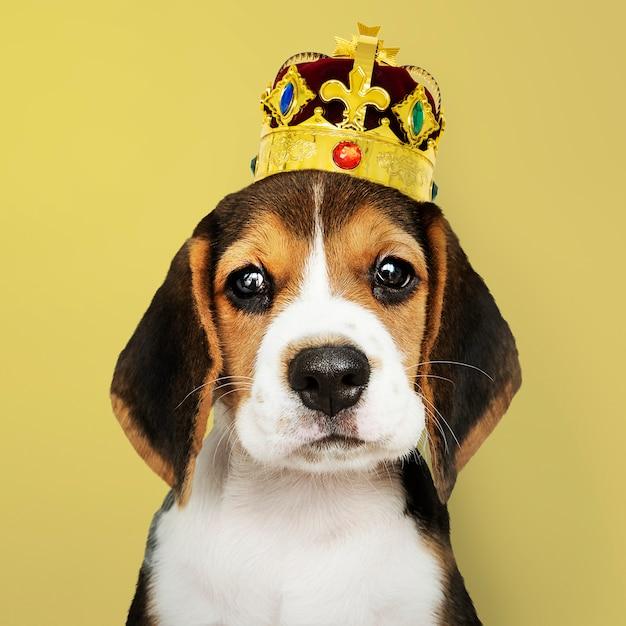 Beagle usando uma coroa em fundo amarelo