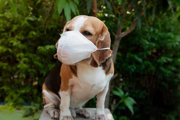 Cachorro beagle usando máscara