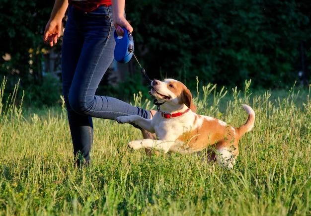 Cachorro beagle Foto Premium