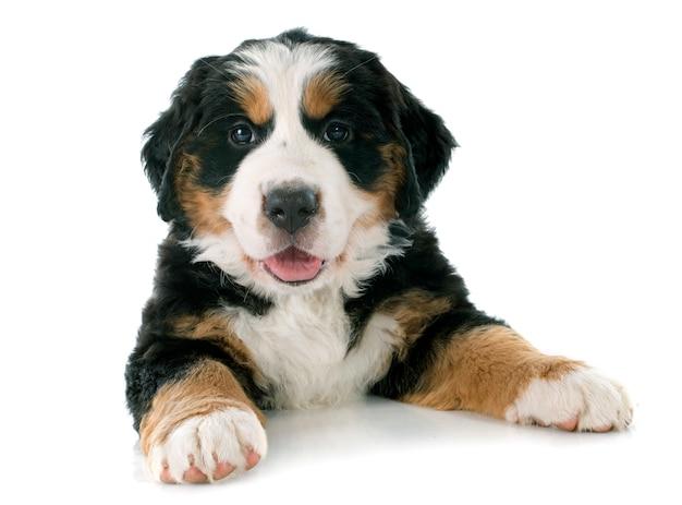 Cachorro bernese moutain cachorro Foto Premium
