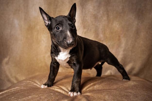 Cachorro bull terrier miniatura em pé Foto gratuita