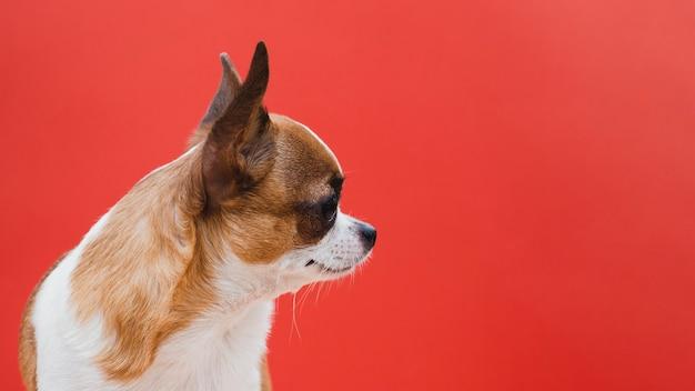Cachorro chihuahua lateralmente com fundo de espaço vermelho cópia Foto gratuita