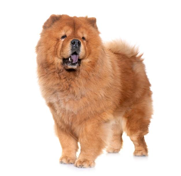 Cachorro chow chow Foto Premium