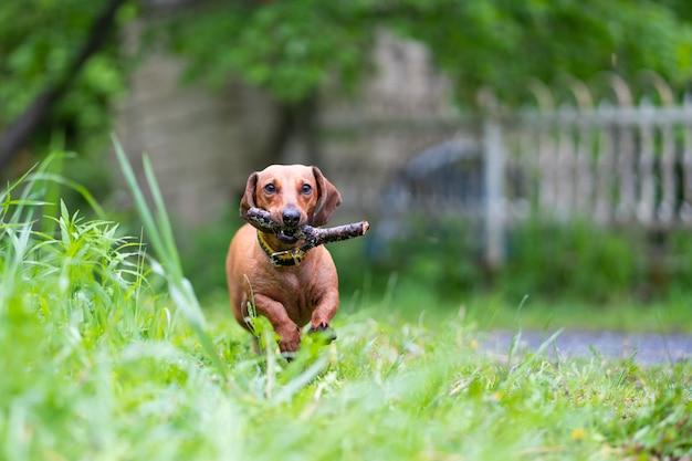Dachshund correndo com graveta no pátio