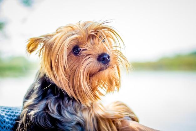 Cachorro da raça yorkshire terrier na janela do carro_ Foto Premium