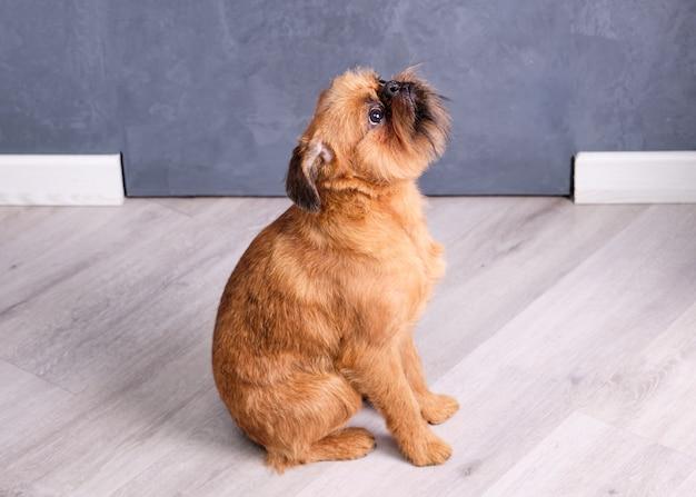 Cachorro de bruxelas griffon senta no chão e olha para cima. Foto Premium