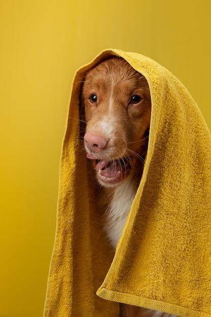 Cachorro depois do banho em uma toalha amarela no fundo amarelo