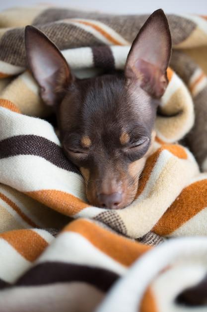 Cachorro dorme sob o cobertor Foto Premium