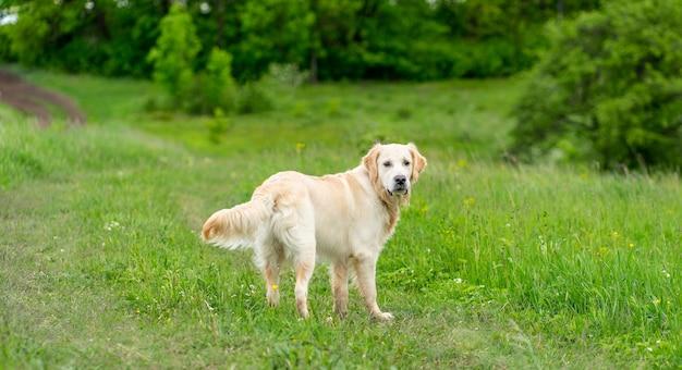 Cachorro golden retriever fofo andando na grama Foto Premium