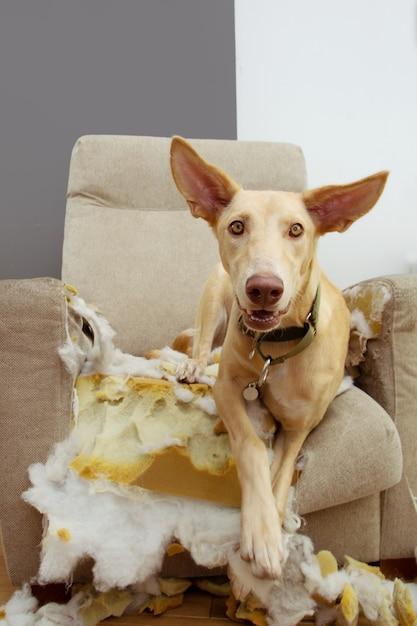 Cachorro hound depois de mastigar e destruir um sofá com uma expressão de inocência. problemas de obediência e conceito de dentição. Foto Premium