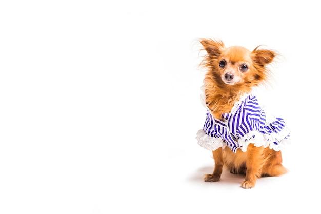 Cachorro marrom com azul vestido isolado no fundo branco Foto gratuita