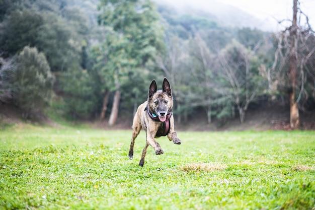 Cachorro marrom correr deitado brincando na natureza Foto Premium