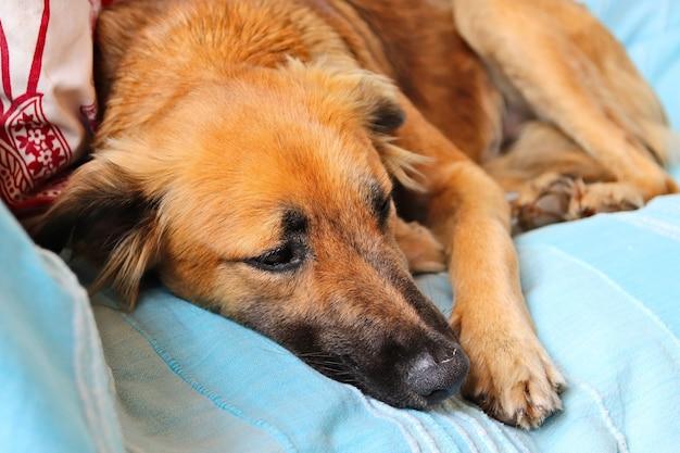Cachorro marrom fofo dormindo pacificamente nas cobertas azuis de um sofá Foto gratuita