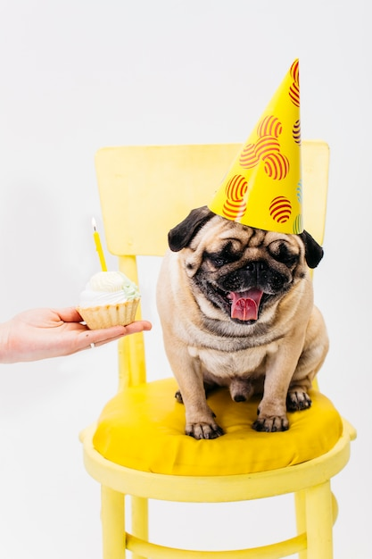 Cachorro no chapéu de aniversário sentado na cadeira Foto gratuita