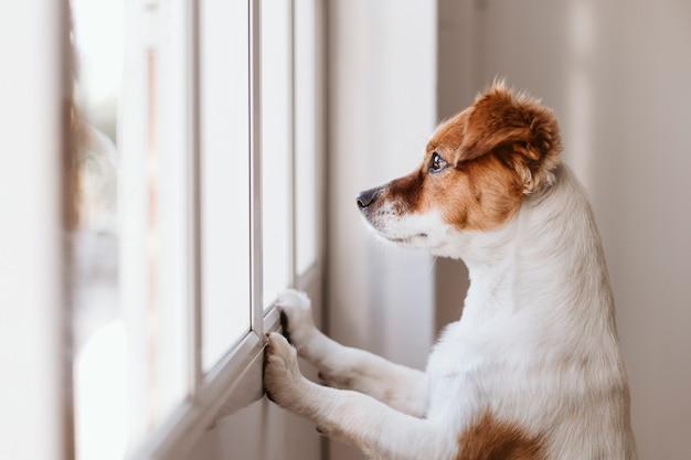 Cachorro olhando para longe pela janela em casa Foto Premium