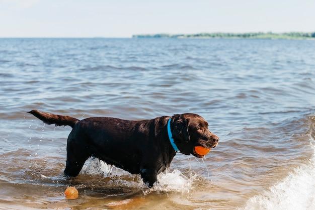 Cachorro preto se divertindo na praia Foto gratuita