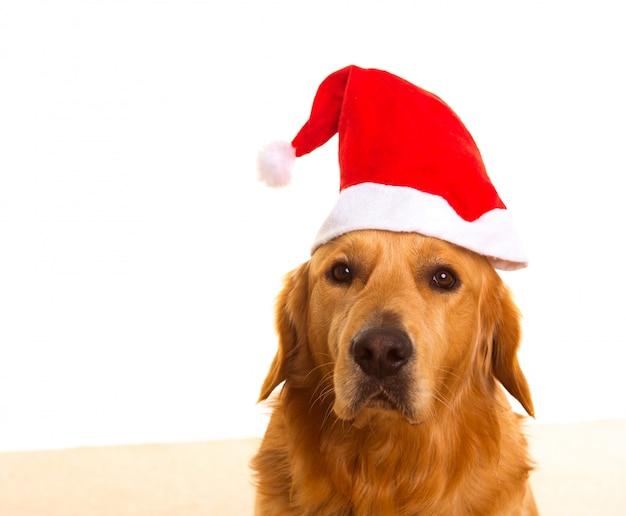 Cachorro retriever dourado, com, chirstmas, santa, chapéu vermelho Foto Premium