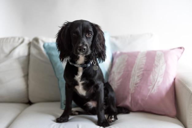 Cachorro spaniel preto fofo sentado no sofá Foto gratuita
