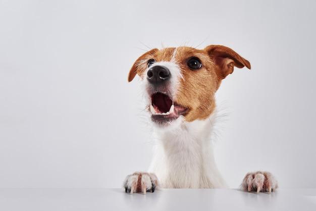 Cachorro terrier jack russell com patas na mesa Foto Premium