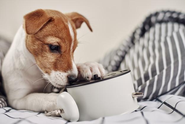 Cachorro terrier jack russell mordiscando despertador vintage na cama Foto Premium