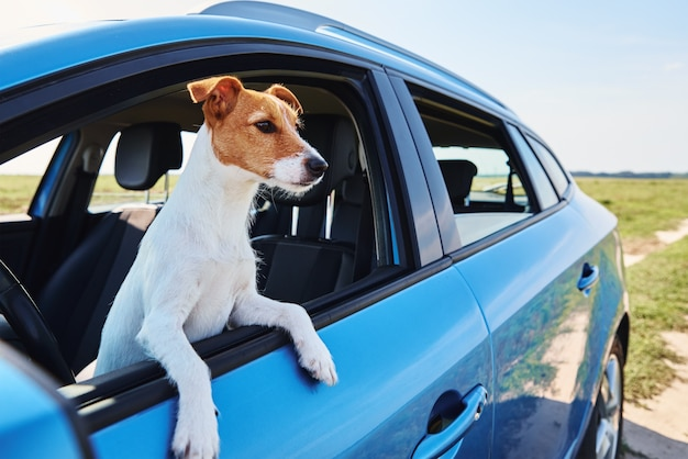 Cachorro terrier jack russell sentado no carro no banco do motorista Foto Premium