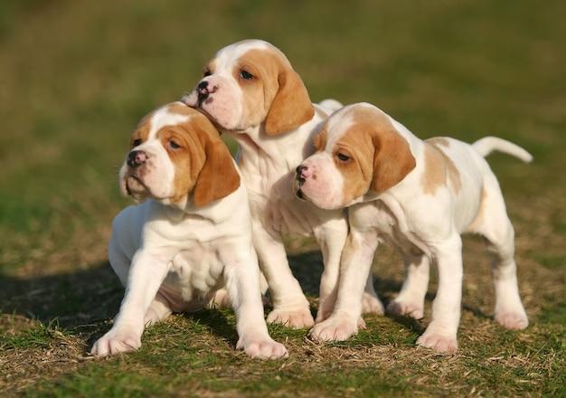Cachorros de cachorro ponteiro alemão de pêlo curto Foto Premium