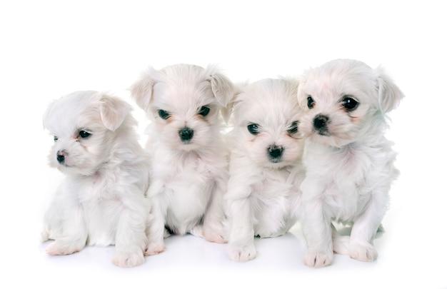 Cachorros maltês cachorros Foto Premium